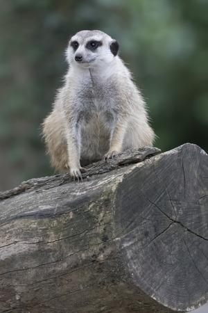 at meerkat: meerkat mongoose Stock Photo