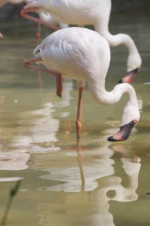 lesser: lesser flamingo Stock Photo