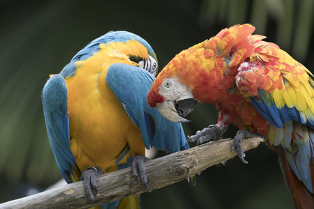 ara: ara macaw parrot Stock Photo