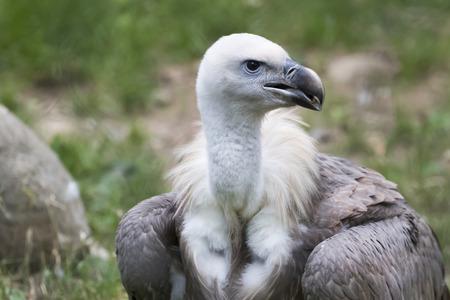 vulture snow
