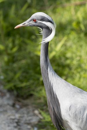 damsel: crane damsel bird Stock Photo