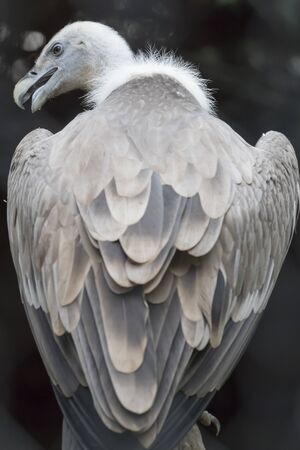 a large bird of prey: vulture snow