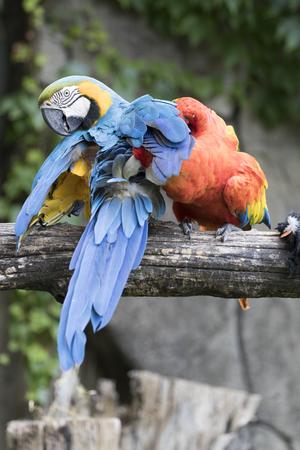 guacamaya: Ara Macaw loro