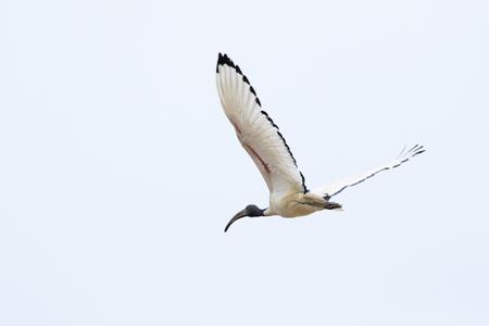 sacred ibis nile Stock Photo