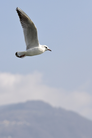 soar: seagul in fligth