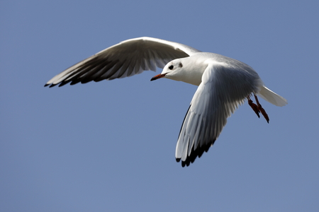 soar: seagull Stock Photo