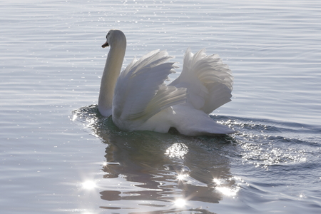 real white swan
