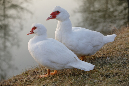 Muscovy Duck Cairina moschata or domestic