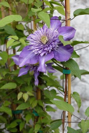 Flower clementis Stock Photo