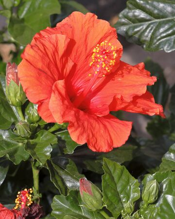 Surphinia