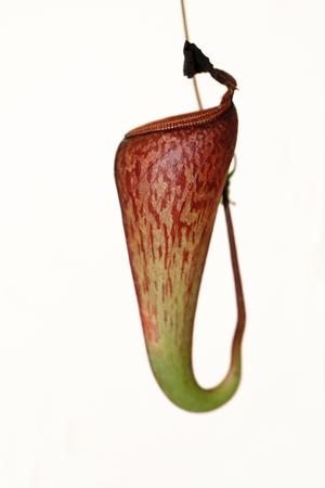 insectivorous plants: A carnivorous plant - Nepenthes mirabilis tenuis Stock Photo