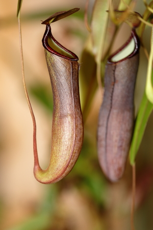A carnivorous plant - Nepenthes mirabilis