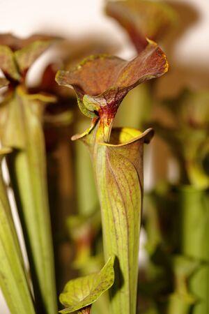 insectivorous plants: A carnivorous plant - Sarracenia rubricorpora