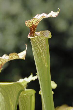 A carnivorous plant saracenia Stock fotó
