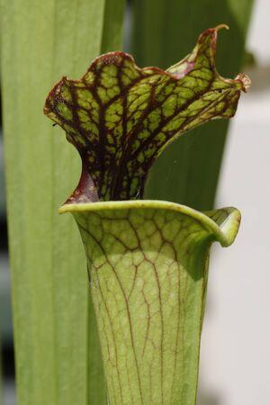 A carnivorous plant saracenia Stock Photo