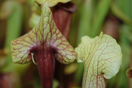 insectivorous plants: A carnivorous plant saracenia Stock Photo