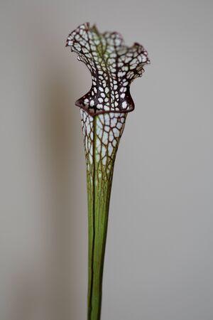insectivorous plants: A carnivorous plant saracenia minor