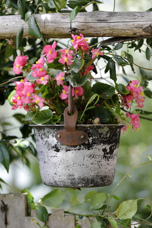 A metal bucket hanging from the bushy full of flowers