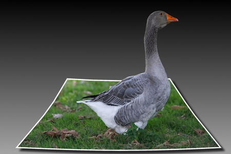 Goose pilgrim at 3d out of bounds