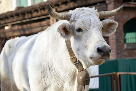A large white bull with a bell tied to the neck