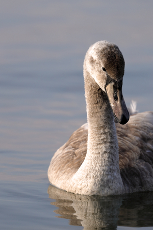 a mute swan Cygnus olor swims in the lake Stock Photo