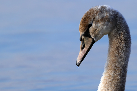 close-up of the head of a mute swan Cygnus olor
