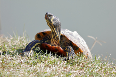 small freshwater turtles warm up in the sun - trachemys Stock Photo