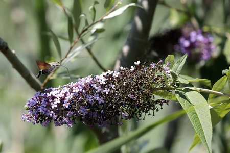 The sphinx of the gallium or sphinx hummingbird (Macroglossum stellatarum) sucking the nectar of the flowers of a Buddleia - Buddleja alternifolia