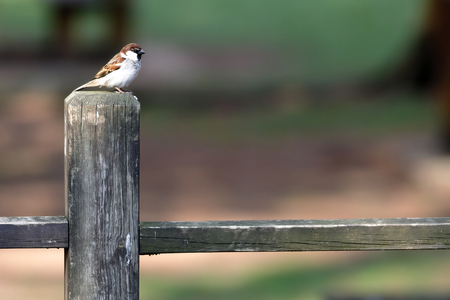 a European sparrow (passer domesticus) on a wooden fence