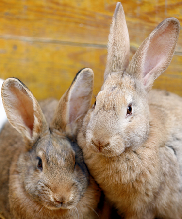 two rabbits heat up squatting on the straw