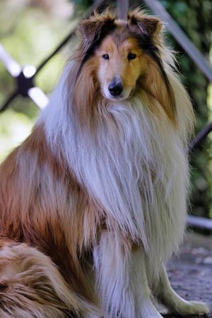 Scottish shepherd dog or Scotch Collie in a sitting position Archivio Fotografico
