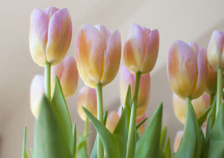 Bunch of delicate pink and yellow tulips with green leaves and stems looking very soft and still  photo