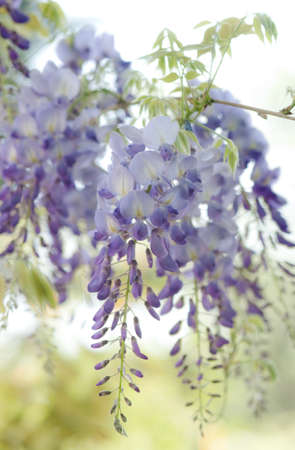 glycine: Delicate Wisteria blooms hanging down  in early spring   There are young leaves visible above the inflorescence