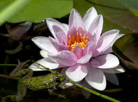 lirio de agua: Rana verde Rana pantano ridibunda flotando junto a un agua de color rosa y amarillo de la flor del lirio Nymphaea sp en un estanque de jard�n Foto de archivo