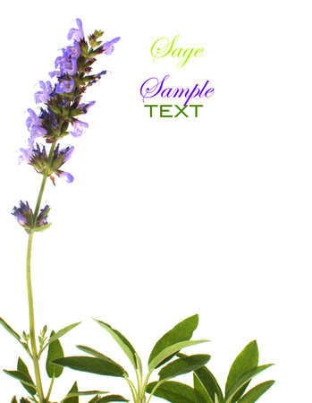 room for your text: Sage leaves and an inflorescence of mauve flowers with room for your text