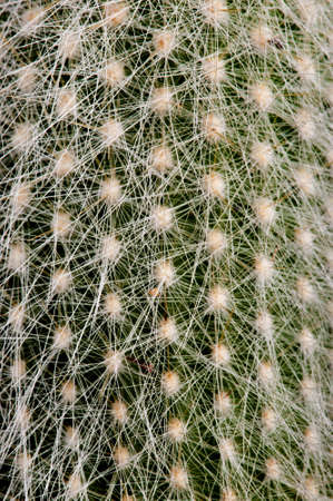 spines: Detail of Echinocereus  showing the dense network of fine spines against the green stem.
