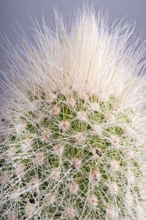 with spines: Detail of Echinocereus  showing the dense network of fine spines against the green stem.