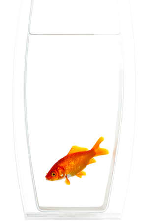 Goldfish glowing bright blue in the dark. Stock Photo - 15477031
