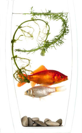 fishtank: Gold and silver fish trapped in a small vase with no escape and nowhere to hide. Stock Photo