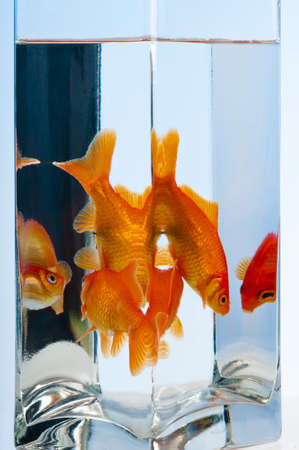 Two goldfish and multiple confusing reflections and refractions off the sides and corner of the glass container.  One reflection appears to  have given the fish a fright.  on a pale blue background. Stock Photo - 15477046