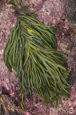 littoral: The green alga,Codium fragileor Dead Man