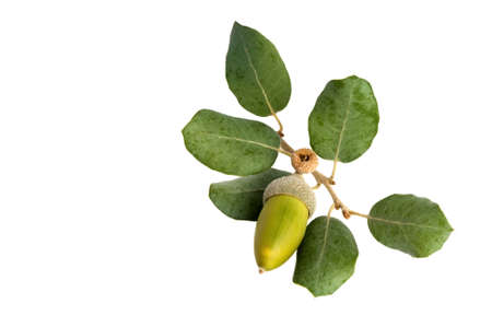 Sprig of holly oak or holm oak  Quercus ilex  leaves with a green developing acorn  Isolated on white  Фото со стока