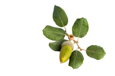 Takje hulst eik of steeneik Quercus ilex blad met een groene ontwikkelen eikel op wit wordt geïsoleerd