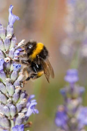 bombus: Bumble bee  Bombus terrestris  on lavender flower in England