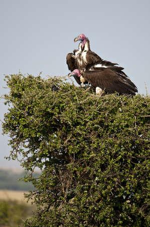 thorn bush: Pair of Nubian Vultures in the Masai Mara, Kenya, on a low thorn bush