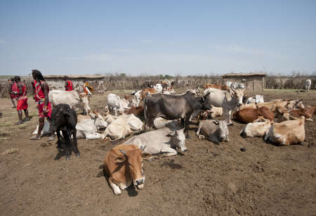 Communal herd of Masai cattle  representing the wealth of the people  in the central area of the village, or manyatta  Masai Mara, Kenya  Stock Photo - 15508643