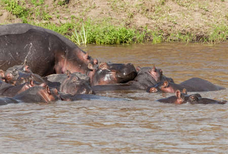 Herd of hippo on top of each other Hippo in the Mara river, Kenya  photo