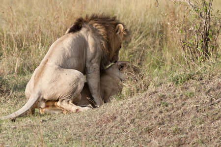 animal sex: Male copulating with the female  One of a series of photos showing a lion and lioness mating in the Masai Mara game park, Kenya   Lions will mate for three days about every half hour, Stock Photo