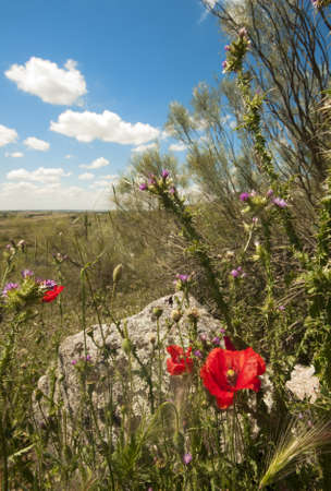 hedgerow: Wild flowers, with a poppy in the foreground, a rock and blue summer sky