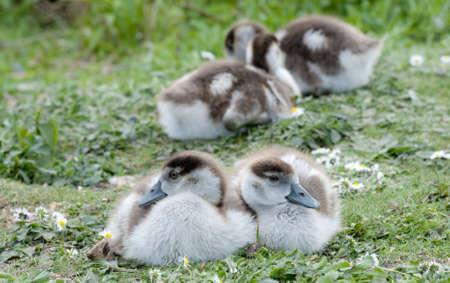 Cute  fluffy Egyptian Goose  Alopochen aegyptiacus   goslings snuggling together among the daisies  photo